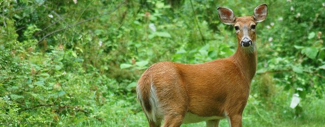 Antlerless deer license drawing results released today on DNR website