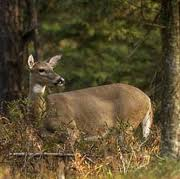 Antlerless deer application results now available, remaining licenses go on sale Sept. 10