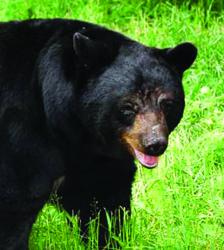 Applications being accepted for elk, bear licenses until June 1