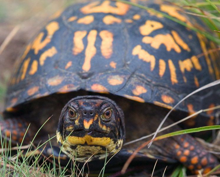 Protecting Michigan box turtles, with some help from man's best friend