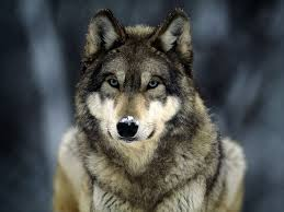 Wolf hunting licenses on sale Aug. 3
